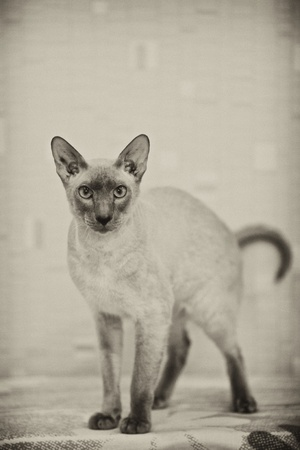 cute hairless oriental cat standing in hunting pose, peterbald photo
