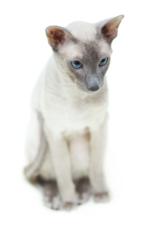 cute hairless oriental cat sitting on floor, peterbald photo