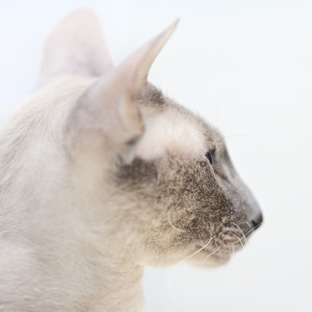 nobleness: cute hairless oriental cat close up, peterbald