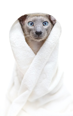 nobleness: funny hairless oriental cat in towel, peterbald
