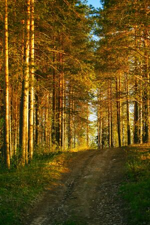 road in pine forest with morning sunbeams photo