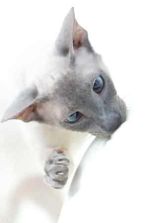 playing cute hairless oriental cat close up, peterbald photo