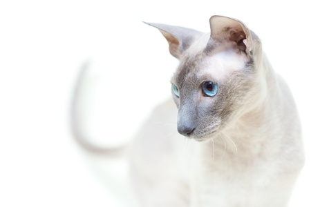 cute hairless oriental cat close up, peterbald Stock Photo - 12595227