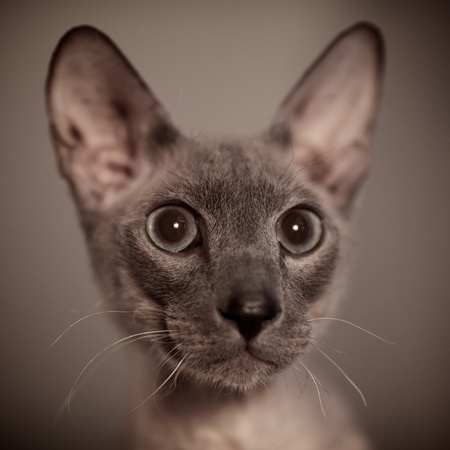 cute hairless oriental cat close up, peterbald Stock Photo - 12595234