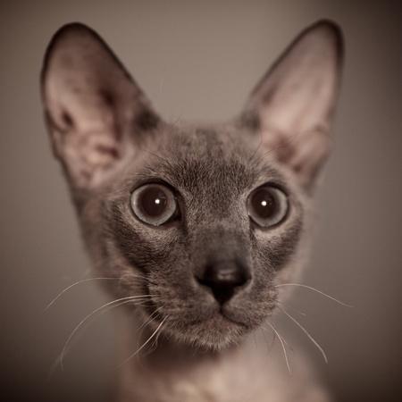 cute hairless oriental cat close up, peterbald Stock Photo - 12595234
