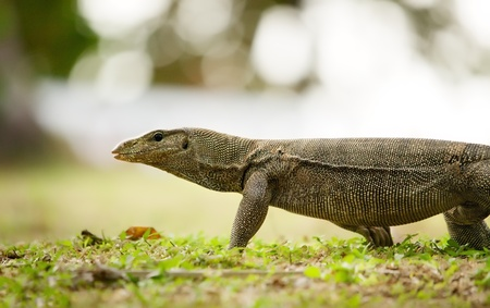 banded monitor lizard walking on a land photo