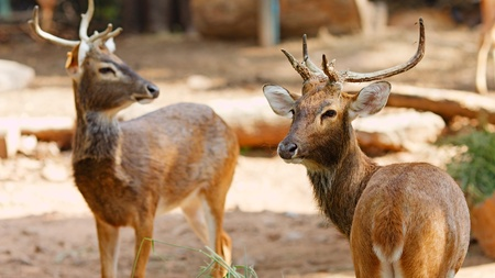 siamensis: two Siamese Elds deer, Brow-Antlered Deer, Thailand