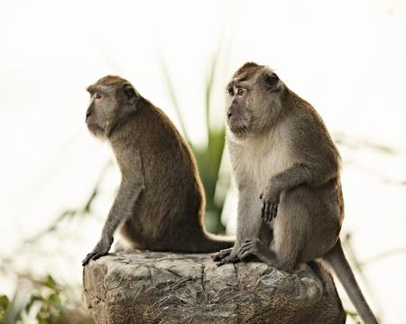 two macaque monkey sitting on big stone photo