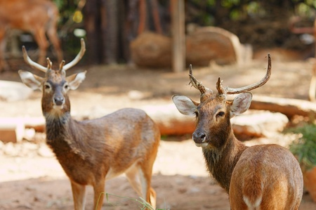 two Siamese Elds deer, Brow-Antlered Deer, Thailand photo