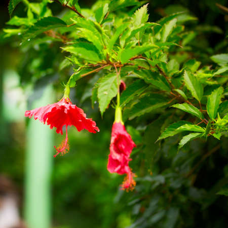 red hibiscus tropical flower, at sunny day photo