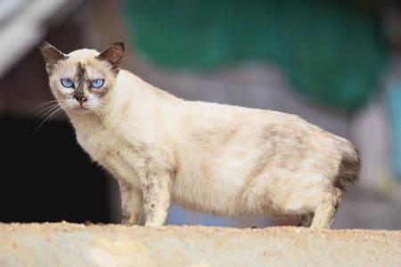 big cream siamese cat seriously looking, outdoor photo