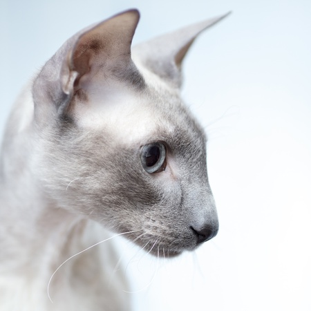 cute hairless oriental cat close up, peterbald photo