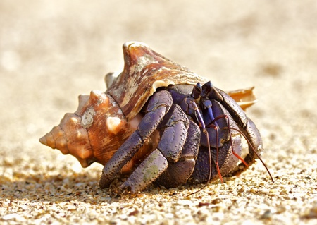 hermit crab on a beach in Andaman Sea photo