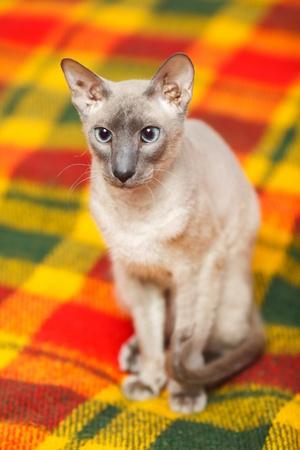 cute hairless oriental cat close up, peterbald photo