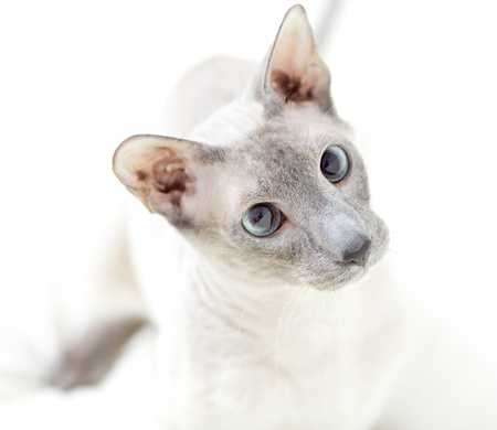 cute hairless oriental cat playing, isolated on white photo