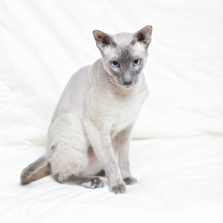 cute hairless oriental cat isolated on white Stock Photo - 12998019