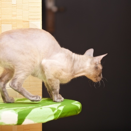hairless oriental cat, peterbald, ready to jump photo