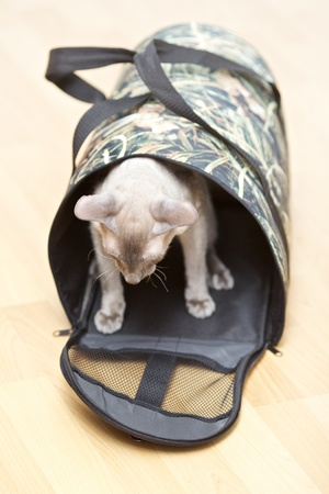 cat carrier: cute hairless oriental cat, peterbald,  in cat carrier
