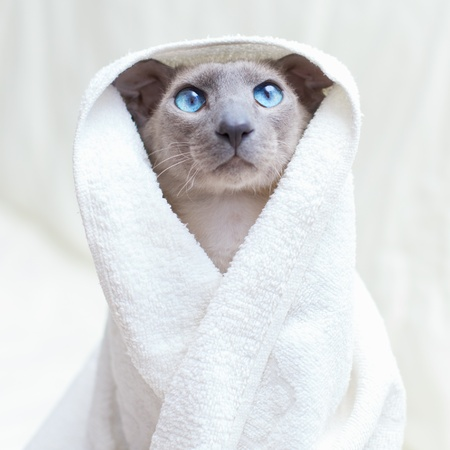 funny hairless oriental cat in towel, peterbald photo