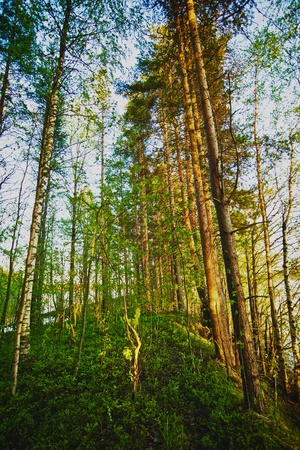 summer pine forest in the early morning photo