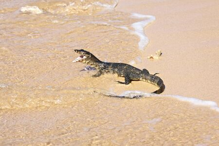 wild water monitor (Varanus salvator) on a beach photo