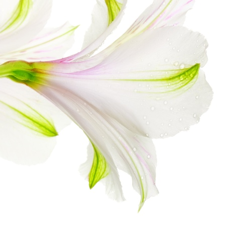 lily flower: single white lily isolated on white background Stock Photo