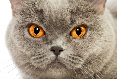 blue british shorthair cat, close up portrait photo
