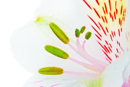 single white lily isolated on white background