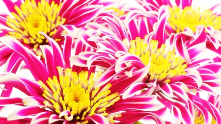 group of red chrysanthemum with yellow center photo