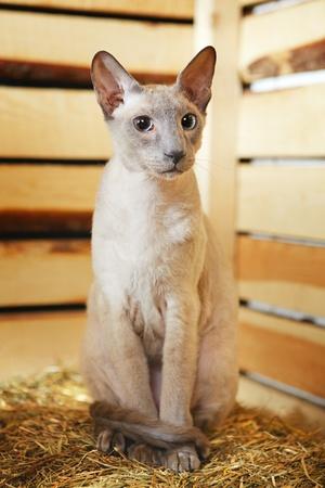 hayloft: lindo gato de pelo corto oriental, peterbald, sentado en el pajar Foto de archivo