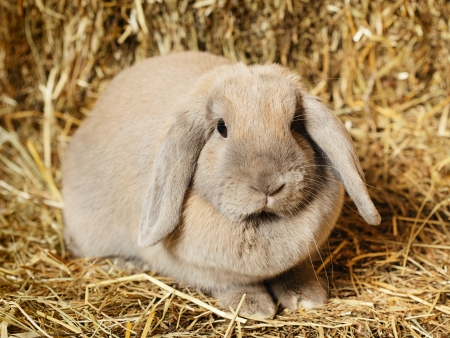 gray lop-earred rabbit on hayloft, close up