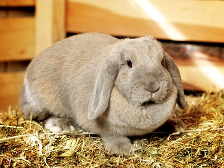 gray lop-earred rabbit on hayloft, close up photo