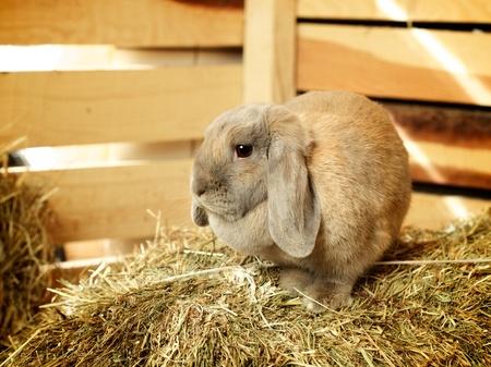 hayloft: gray lop-earred rabbit on hayloft, close up