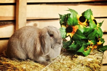 hayloft: gray lop-earred rabbit on hayloft, rural scene Stock Photo