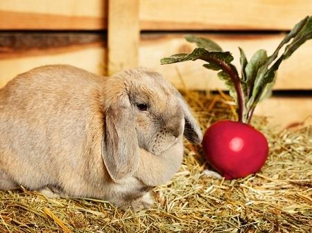 hayloft: conejo gris lop-earred en el pajar, escena rural Foto de archivo