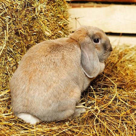 hayloft: conejo gris lop-earred en el pajar, de cerca