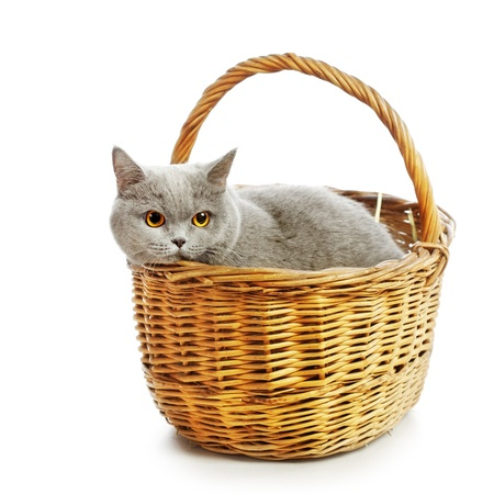 blue british shorthair cat in basket, isolated on white photo