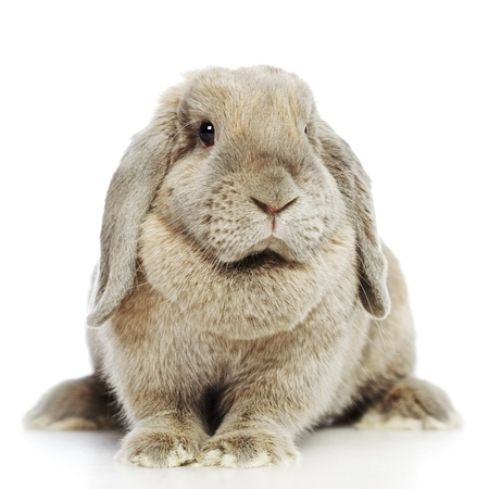 lop lop rabbit white: gray lop-earred rabbit, isolated on white background Stock Photo