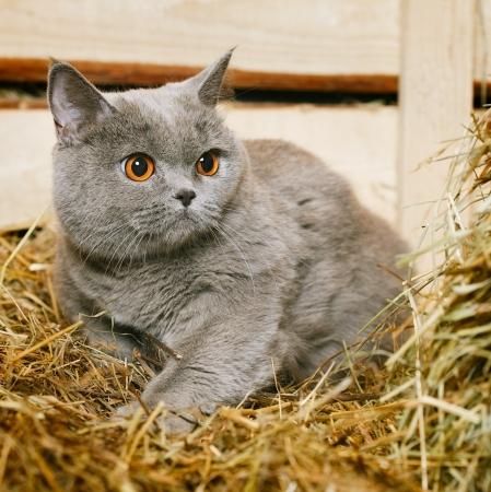 hayloft: funny blue british shorthair cat on hayloft