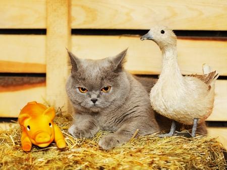 hayloft: divertido gato azul brit�nico de pelo corto en el pajar Foto de archivo