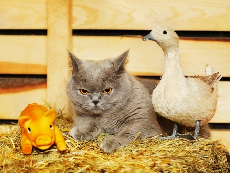 domestic duck: funny blue british shorthair cat on hayloft