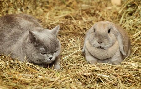 lop: british shorthair cat and lop rabbit on hayloft
