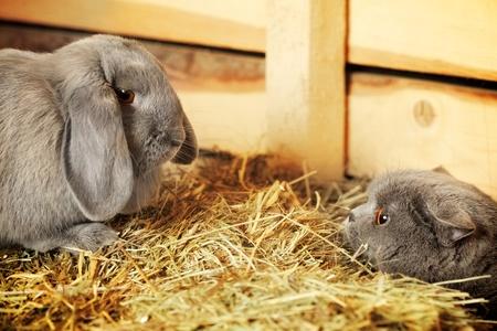 hayloft: british shorthair cat and lop rabbit on hayloft