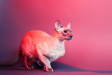 nobleness: shorthair oriental cat, peterbald, on red background