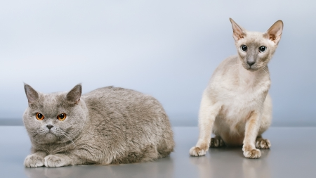 peterbald and blue british shorthair cat, gray background photo