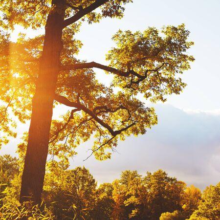 arbol roble: Hermoso árbol de roble del otoño en día soleado