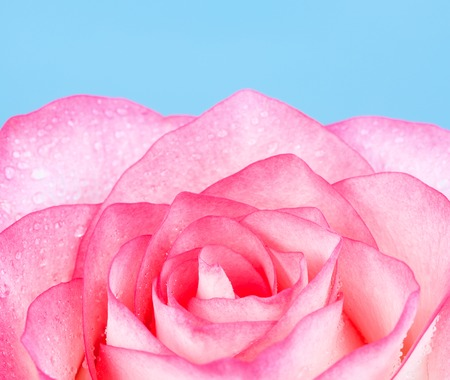 Fresh pink rose flower, on blue