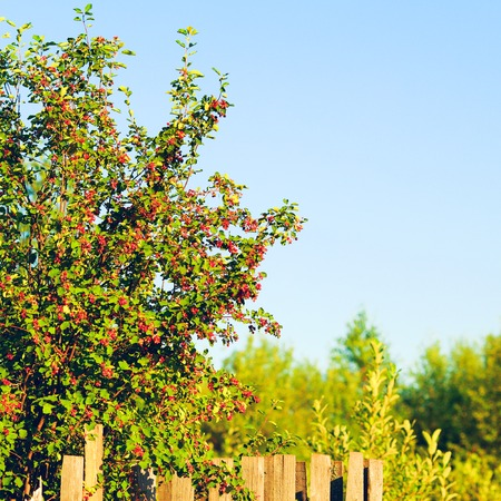 garden settlement: Old wooden fence and berry bushes at summer day