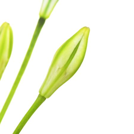 bourgeon: Brodiaea flower bud, cluster-lily, isolated on white
