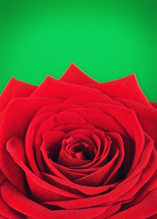rose photo: single red rose flower, on green background, close up view Stock Photo